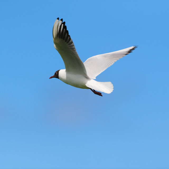 """Flying Black-headed gull"" stock image"