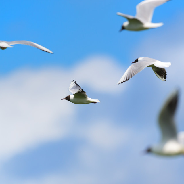 """Flying group Black-headed gulls"" stock image"