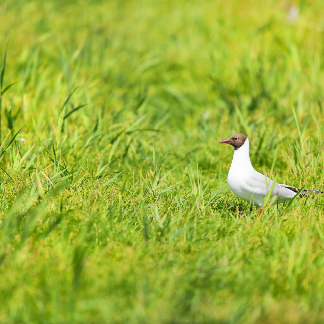 """Black-headed gull in grass"" stock image"