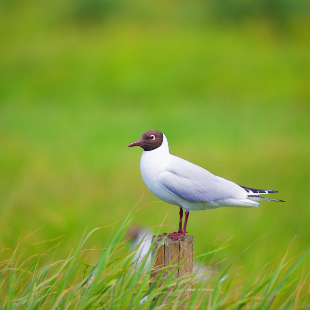 """Black-headed gull on pole"" stock image"