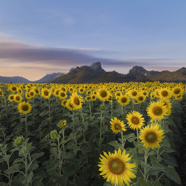 """""""Endless sight of sunflowers"""" stock image"""