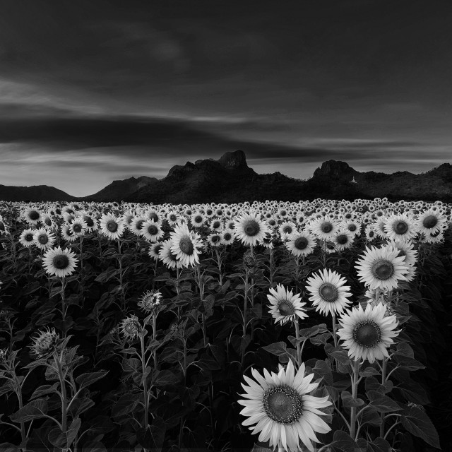 """""""Black and White - Endless sight of sunflowers"""" stock image"""