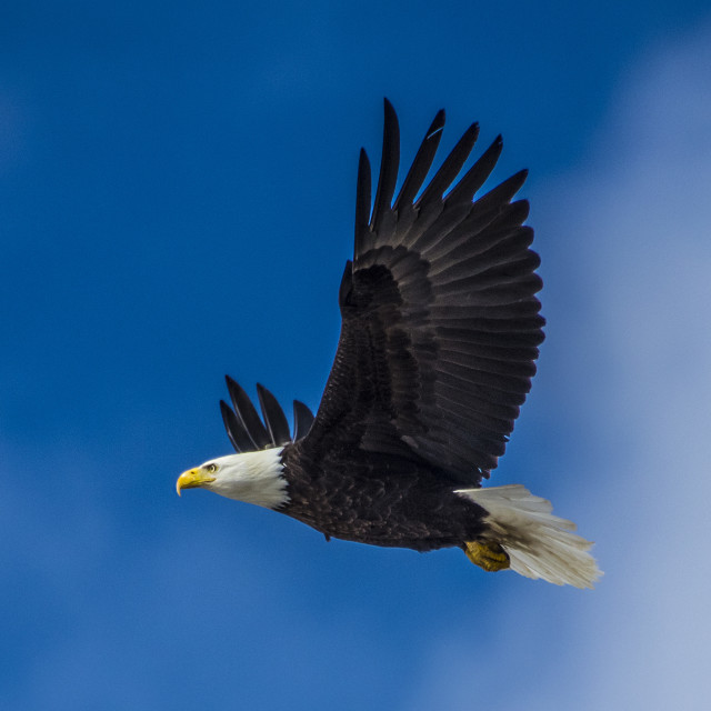 """Bald Eagle In Flight"" stock image"