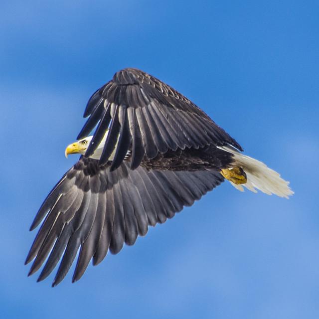 """""""Bald Eagle Cloaking"""" stock image"""