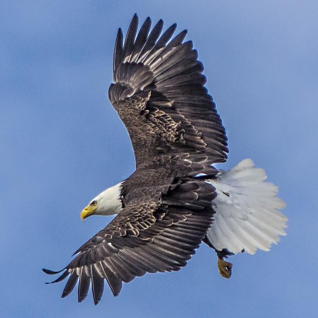 """Soaring Bald Eagle"" stock image"
