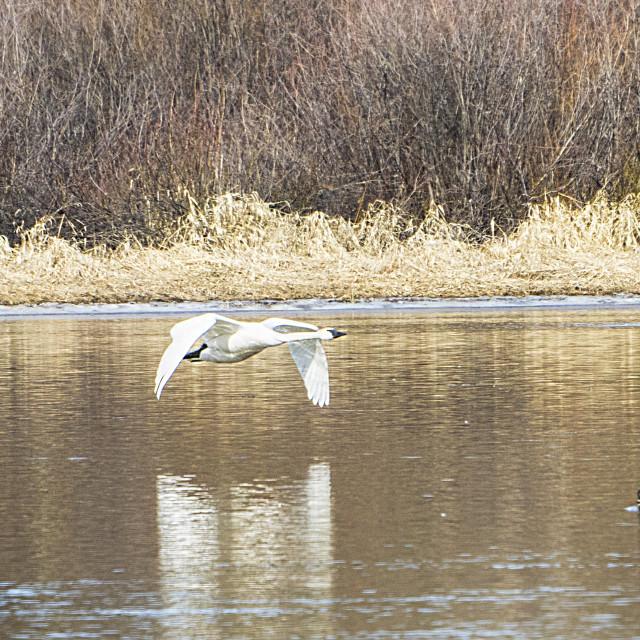 """Trumpeter Swans In Flight"" stock image"