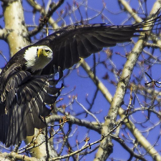 """""""Eagle Take-off"""" stock image"""