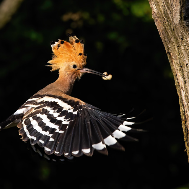 """""""Eurasian hoopoe flying and holding a nymph of bug in beak in forest at sunset"""" stock image"""