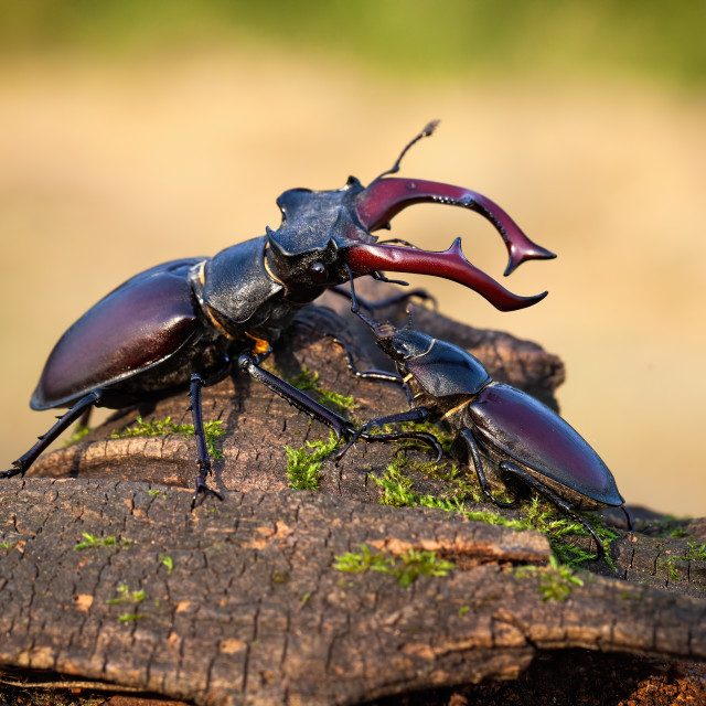 """""""Male and female stag beetle standing together on tree trunk in summer"""" stock image"""