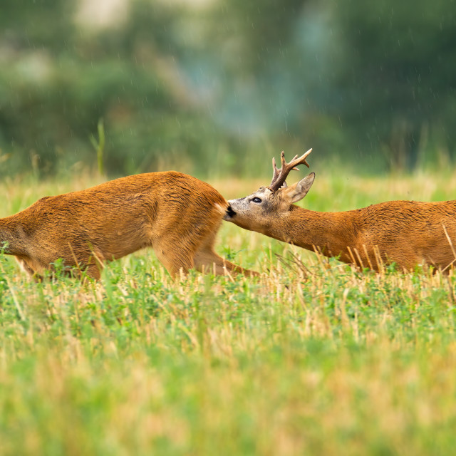 """""""Couple of roe deer buck and doe in summer mating season on stubble field"""" stock image"""