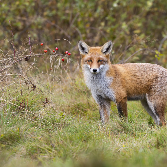 """""""Alert red fox standing in front of rosehip bush with red fruits and looking"""" stock image"""