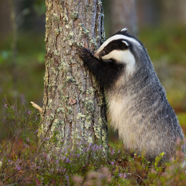 """""""Fluffy european badger sniffing trunk of coniferous tree with nose"""" stock image"""
