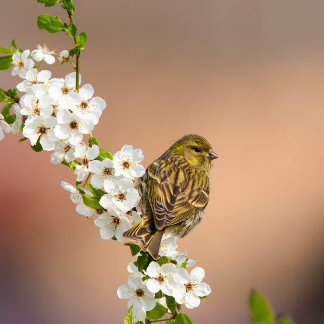 """""""Female eurasian siskin sitting on a blooming twig of tree in orchard"""" stock image"""