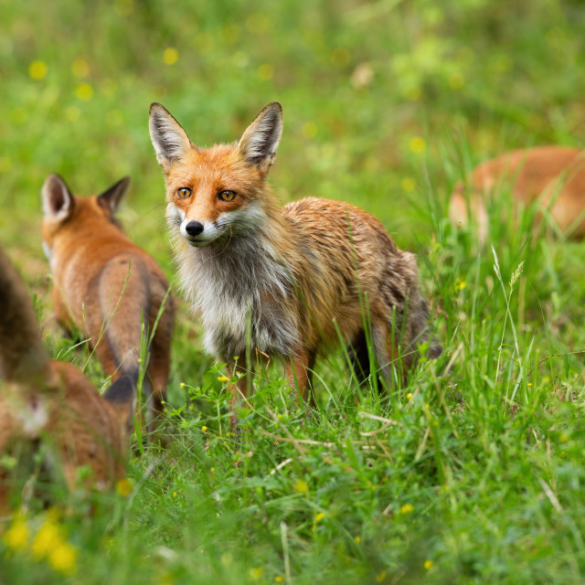 """""""Red fox family with mother and three cubs hunting and playing on a glade"""" stock image"""