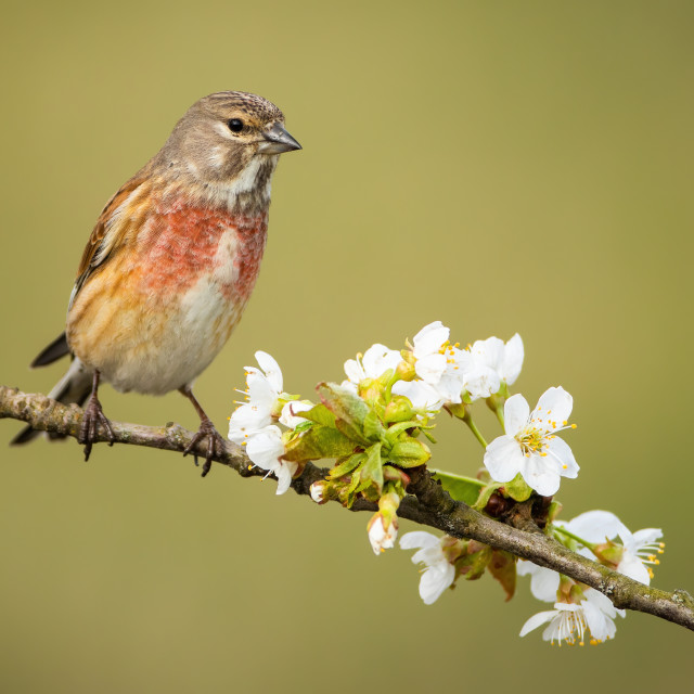 """""""Male common linnet sitting on flourishing tree twig with white flowers in spring"""" stock image"""