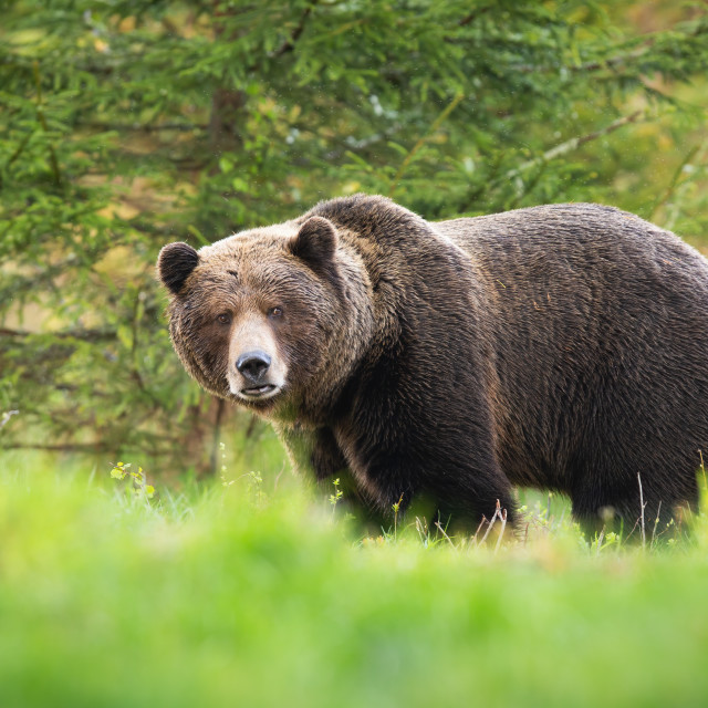 """""""Territorial brown bear male looking into camera on glade with green grass"""" stock image"""