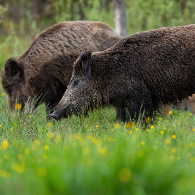 """""""Peaceful wild boar herd standing on meadow with blooming flowers"""" stock image"""
