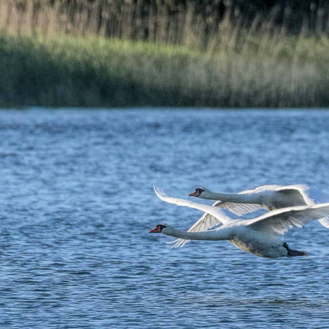 """Swans in proximity flight"" stock image"