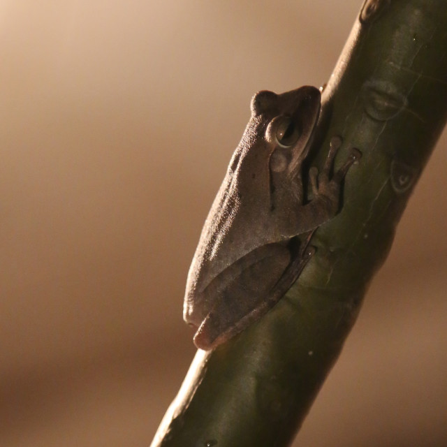 """First Tree Frog of Spring"" stock image"