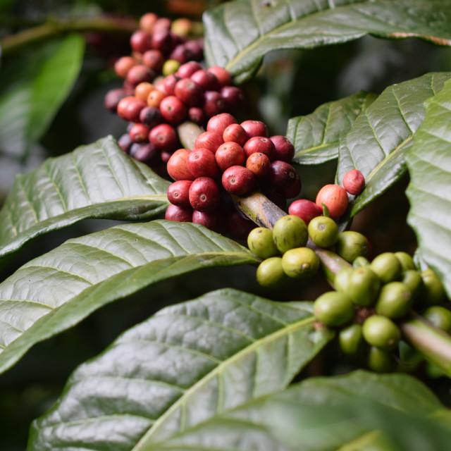 """Wild Arabica Beans, Toraja"" stock image"