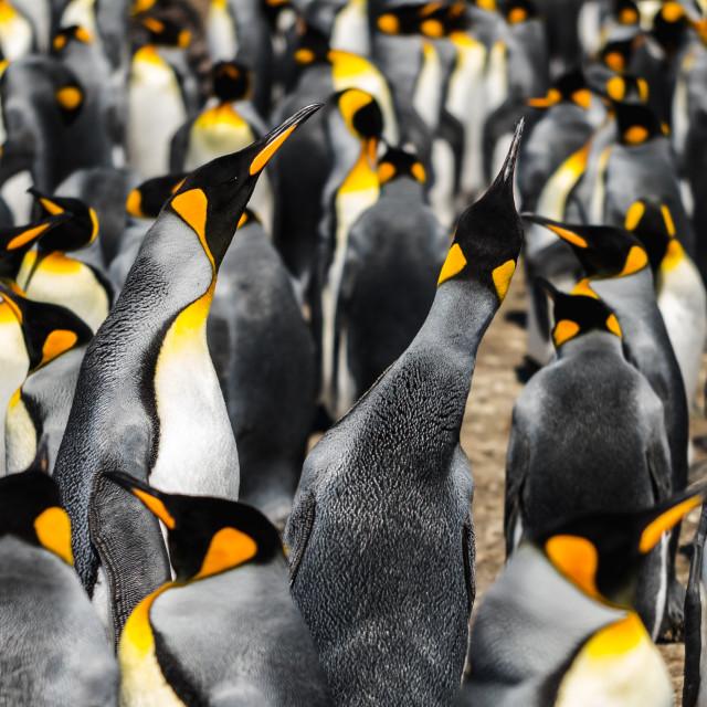 """King Penguin Call"" stock image"