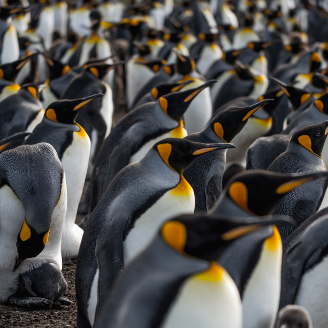 """King Penguin Gaze"" stock image"