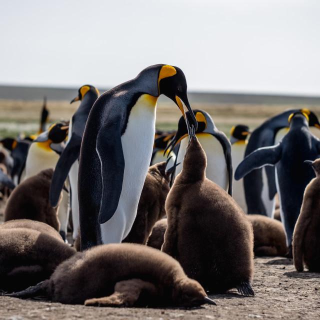 """King Penguins Feeding"" stock image"