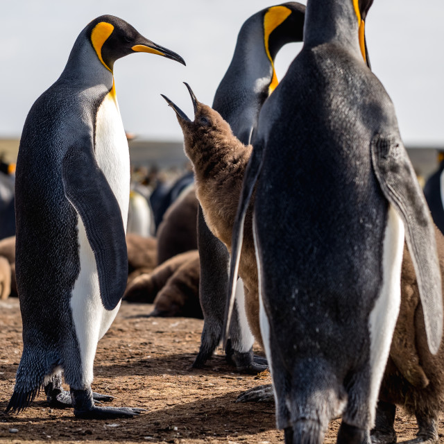 """""""Hungry King Penguin Chick"""" stock image"""