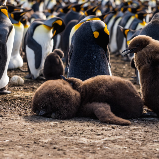 """King Penguin Chick Pile"" stock image"