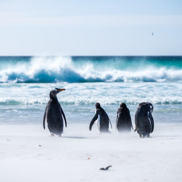 """Gentoo Penguin Beach Day"" stock image"