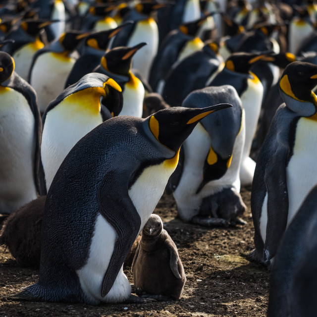"""""""Curious King Penguin Chick"""" stock image"""