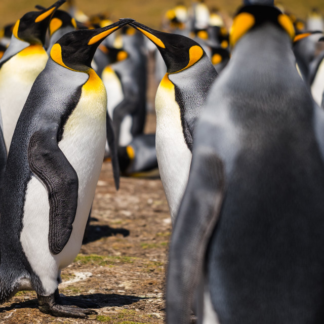 """Romantic King Penguins"" stock image"