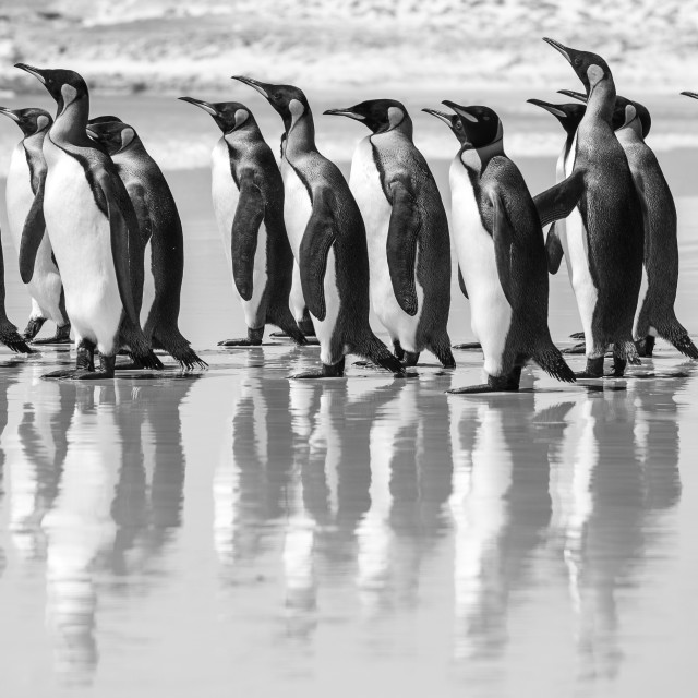 """King Penguin Beach Day"" stock image"