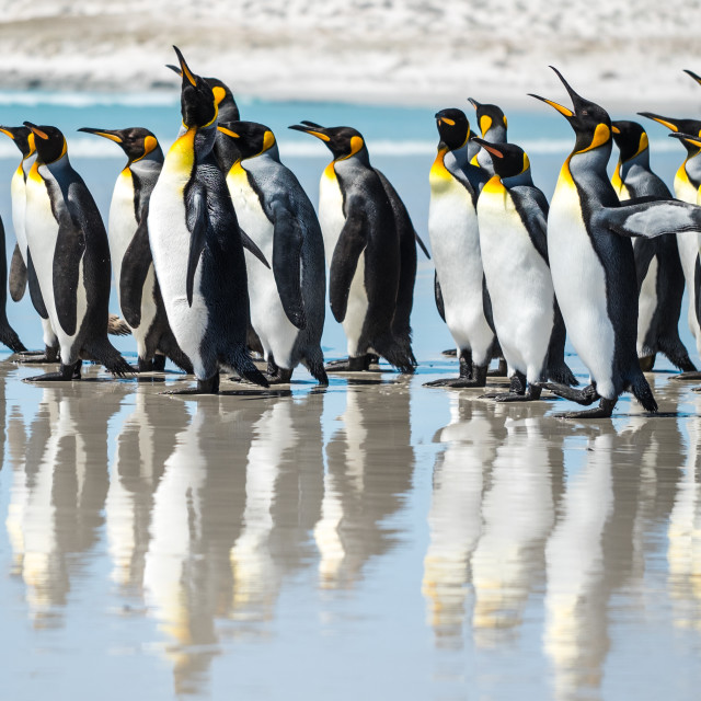 """King Penguin Beach Day"" stock image"