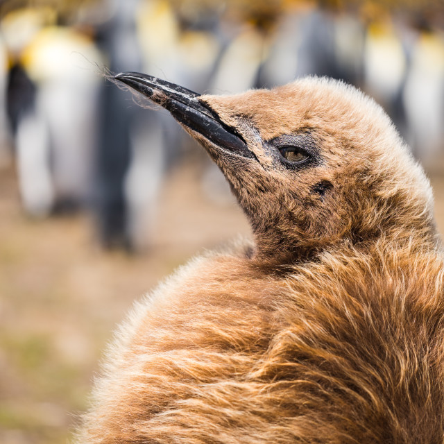 """King Penguin Chick"" stock image"