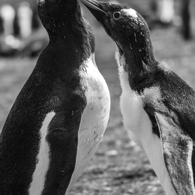 """Romantic Gentoo Penguins"" stock image"