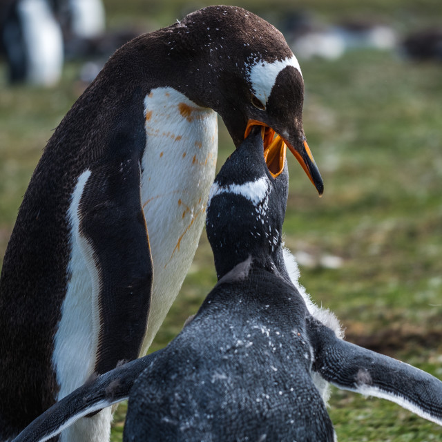 """Gentoo Penguins Feeding"" stock image"