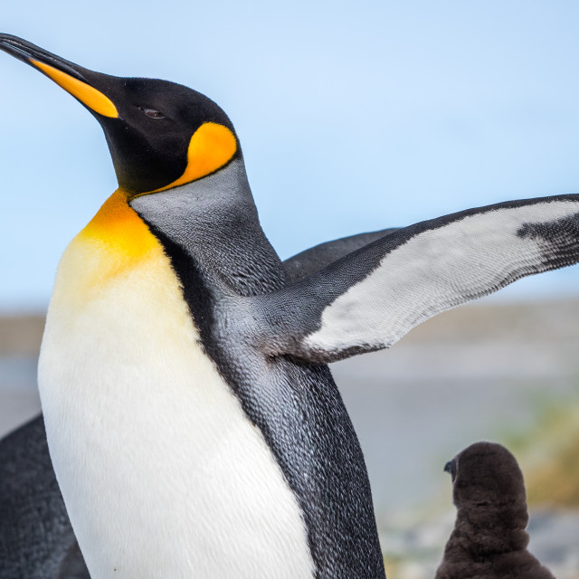 """King Penguin Call"" stock image"