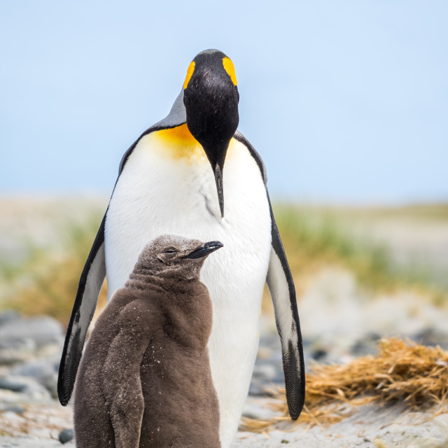 """King Penguin Parent and Chick"" stock image"