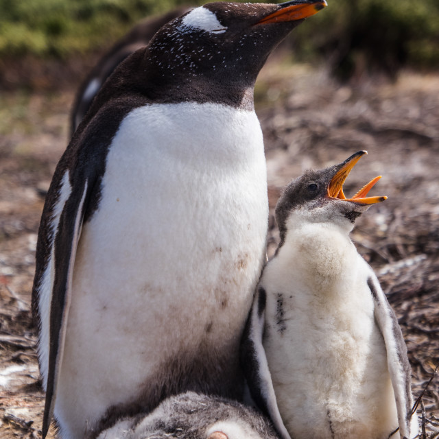 """Gentoo Penguin Chick and Parent"" stock image"