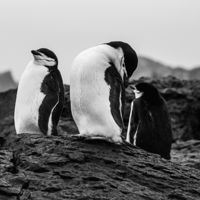 """Chinstrap Penguins"" stock image"
