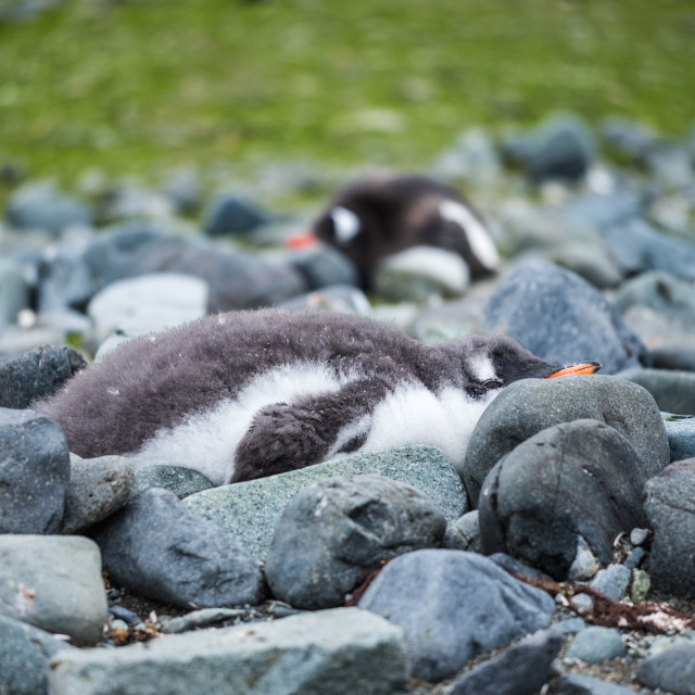 """Gentoo Penguin Chick"" stock image"