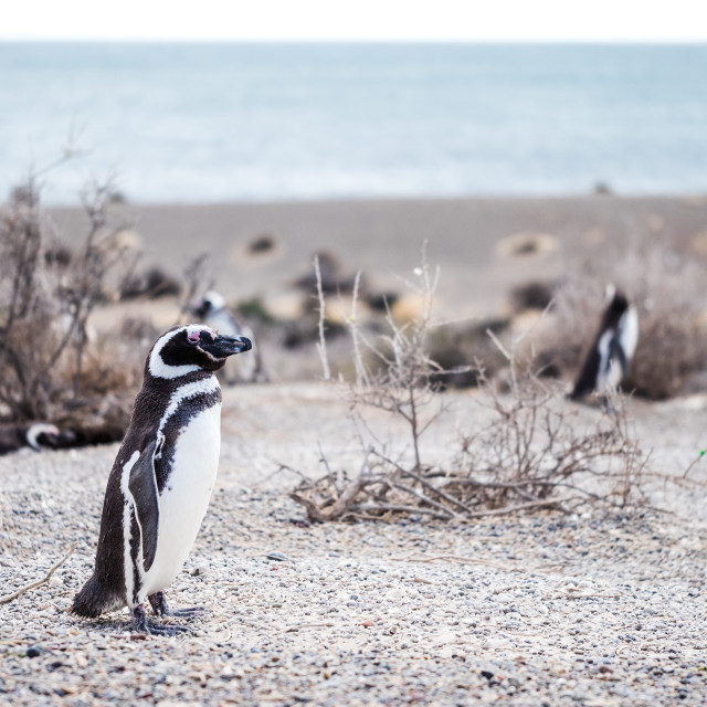 """Magellanic Penguin"" stock image"
