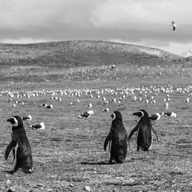 """Magellanic Penguin Brotherhood"" stock image"