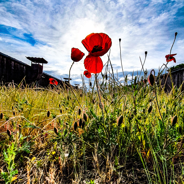 """Poppy Sheds"" stock image"