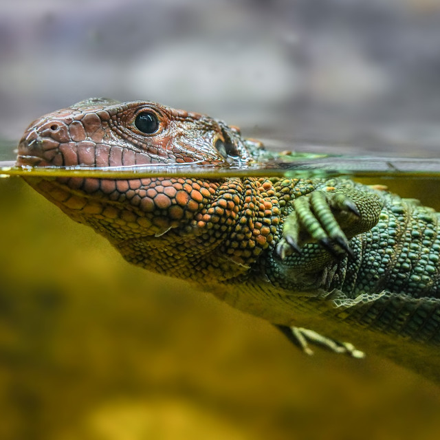 """Caiman Lizard Swimming 02"" stock image"
