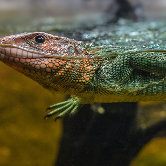 """Caiman Lizard Swimming 03"" stock image"