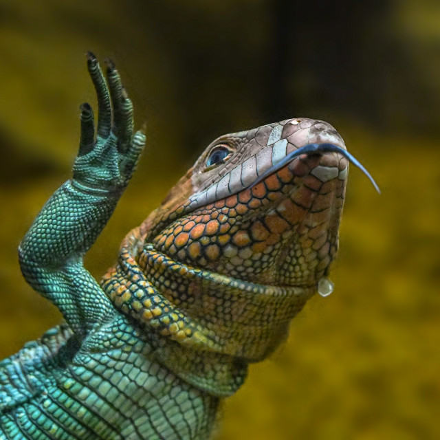 """Caiman Lizard Swimming 04"" stock image"