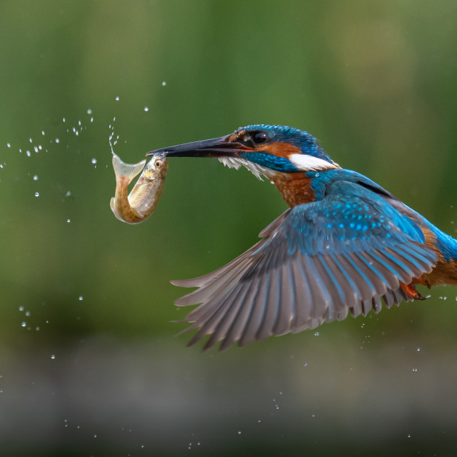 """""""Flying Fisher"""" stock image"""