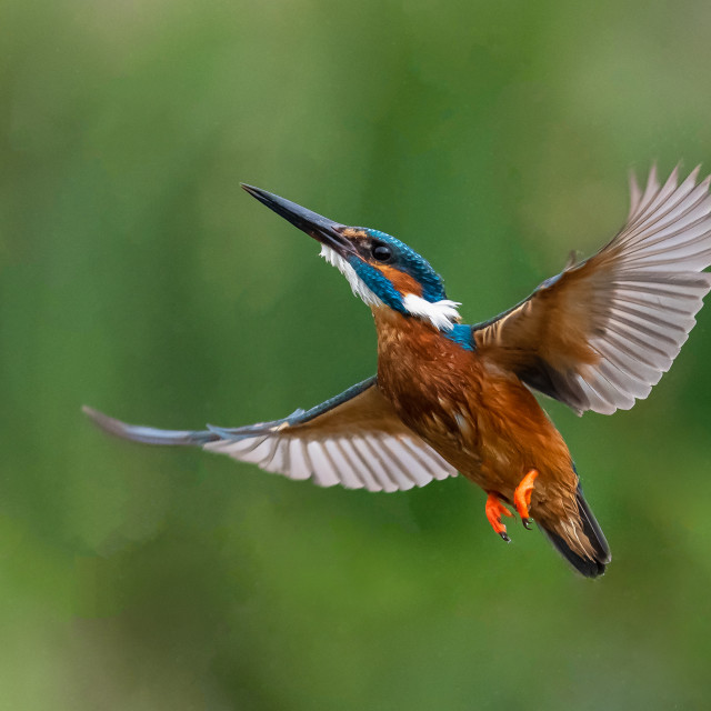 """""""Flight of the fisher"""" stock image"""
